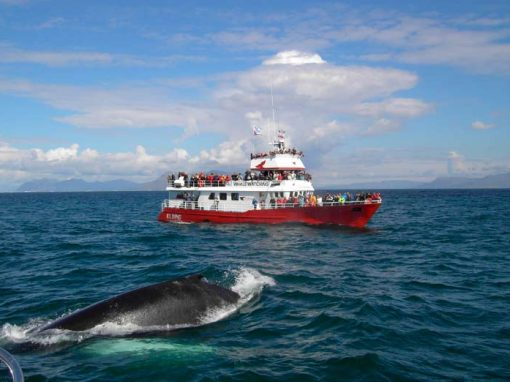 Whale Watching via Elding * 3h * 10.990 ISK