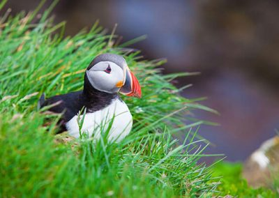 Puffin Boat Tour via Happy Tours *1h* ISK 6.900