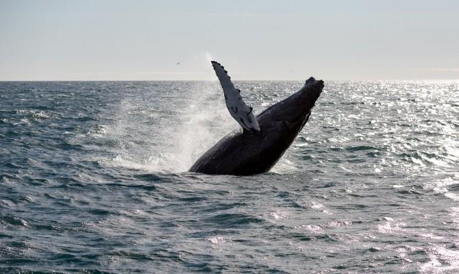 Reykjavik_Sailors_Whale_Watching_Tour_From_Reykjavik2